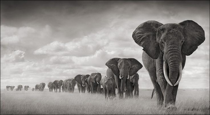 Nick_Brandt_elephants_walking