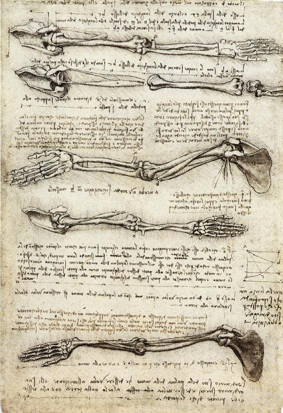 Studies of the Arm showing the Movements made by the Biceps, c. 1510