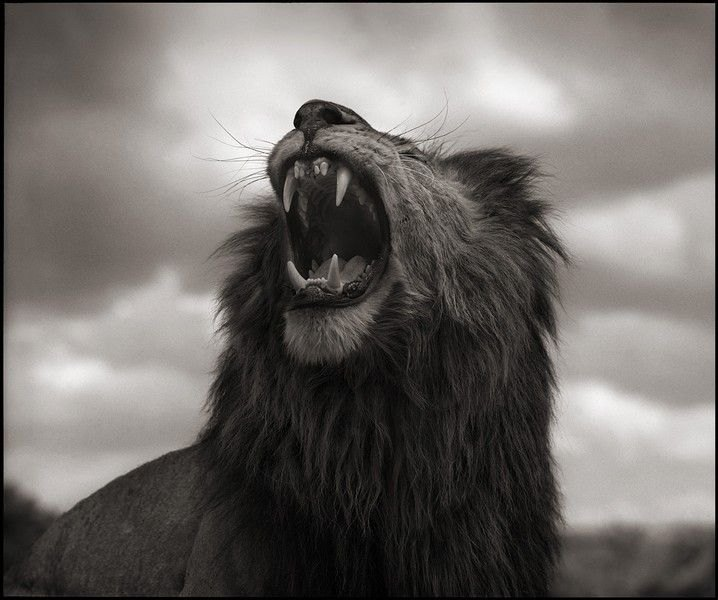 Nick_Brandt_lion_roar